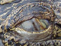 Photo: Crocodile eye
