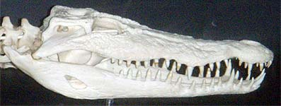 Photo: Crocodile skull