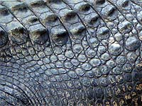 Photo: Crocodile scales