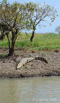 Photo: A crocodile basking on bank of a river